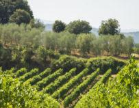 Ausflug Olivenhaine und Weingüter bei Montpellier